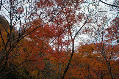 武田尾の紅葉 見頃:11月中旬~11月下旬