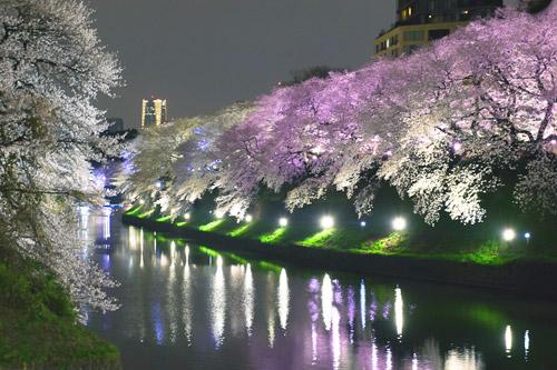 幻想的でロマンチック ライトアップされた桜