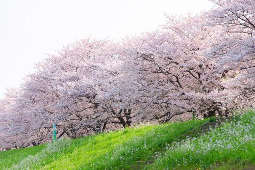 日本の80%の桜はソメイヨシノ