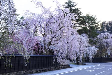 角館の町すべてが、桜色に染まったように、華やぎます。