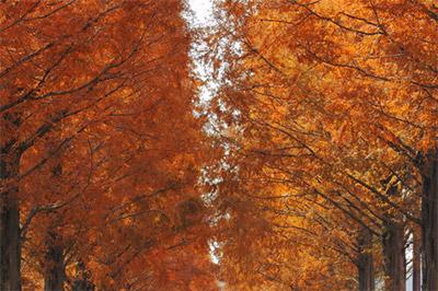 メタセコイア並木の紅葉:11月下旬~12月上旬