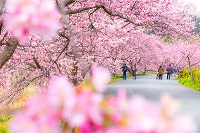 静岡県の伊豆半島にある賀茂郡河津町の、河津桜!