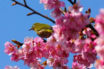 河津桜とは?特徴など概要