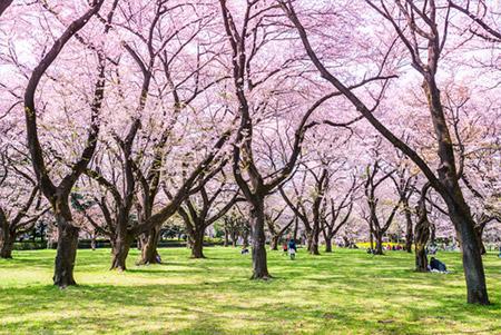桜まつり2021の時期は桜が満開