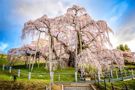 枝が長いけれど柔らかいために、その名の通りしだれているのが特徴です。