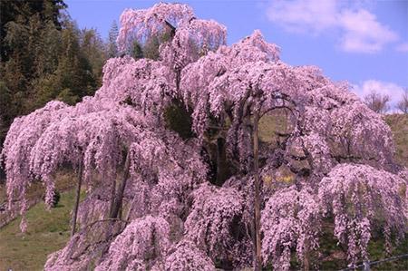 開花予想が4月14日、 満開が4月20日…