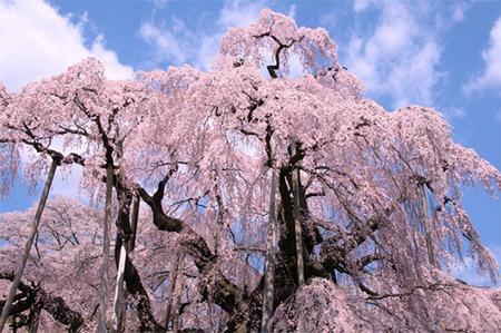 三春の滝桜ってどんな桜なの?