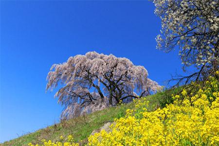 たとえば樹齢350年の【芹ヶ沢桜】。