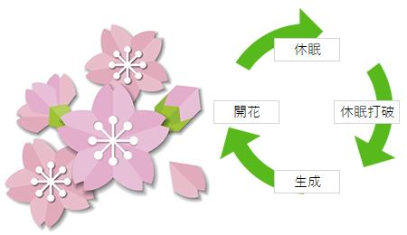 桜の開花メカニズム